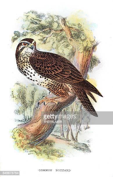 Common Buzzard illustration 1896