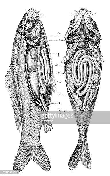 Common carp  anatomy