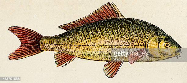 illustrations, cliparts, dessins animés et icônes de common forfait carp, poisson animaux antiquités illustration - carpe