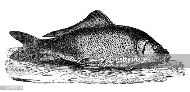 common carp fish illustration - historical document stock illustrations, clip art, cartoons, & icons