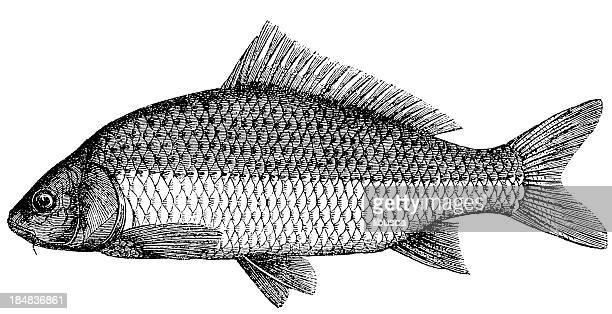 illustrations, cliparts, dessins animés et icônes de common carp (cyprinus carpio) - carpe