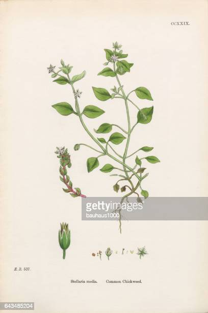 common chickweed, stellaria media, victorian botanical illustration, 1863 - chickweed stock illustrations, clip art, cartoons, & icons