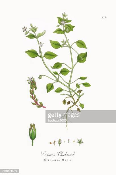 ilustrações, clipart, desenhos animados e ícones de chickweed comum, morugem, ilustração botânica vitoriana, 1863 - chickweed
