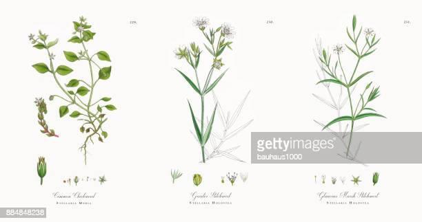 common chickweed, stellaria media, victorian botanical illustration, 1863 - milkweed stock illustrations