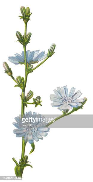 common chicory, blue daisy, blue dandelion - chicory stock illustrations, clip art, cartoons, & icons