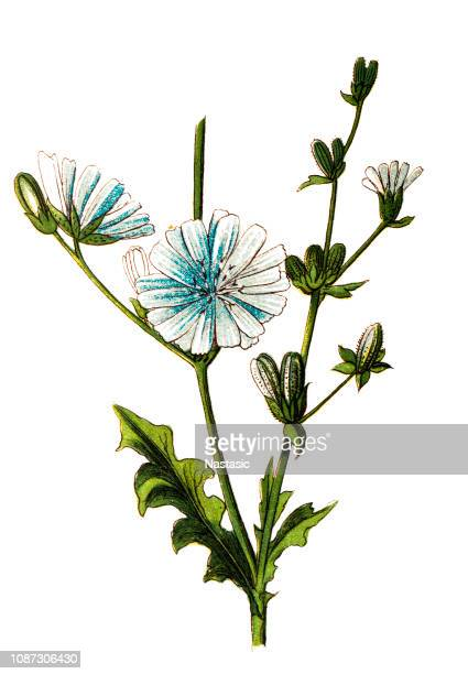 common chicory, cichorium intybus - endive stock illustrations, clip art, cartoons, & icons