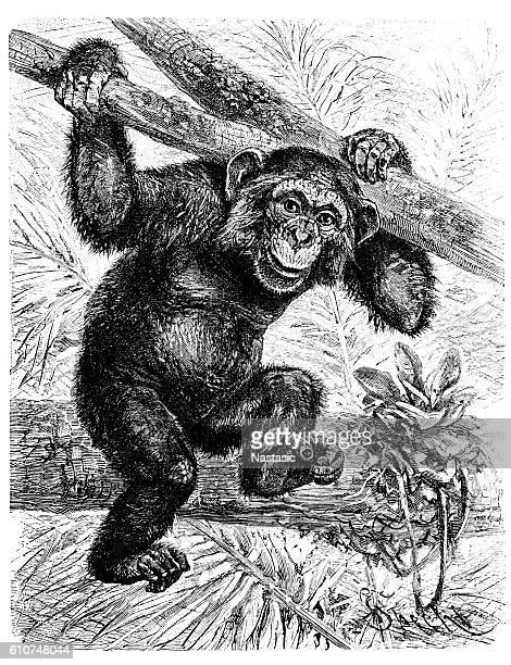 ilustrações, clipart, desenhos animados e ícones de common chimpanzee (pan troglodytes) - animais em extinção