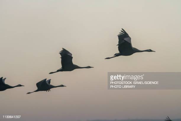 ilustrações, clipart, desenhos animados e ícones de common crane in flight - grupo mediano de animales