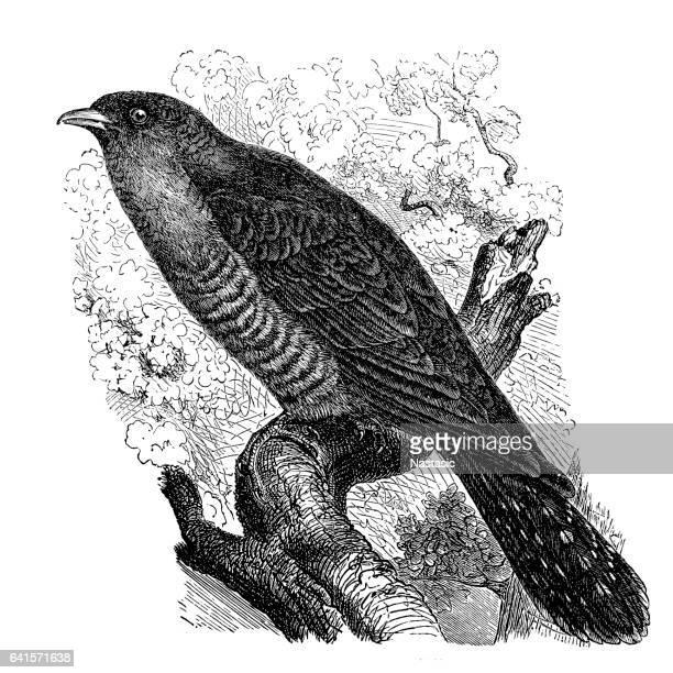 Cucú común (Cuculus canorus)