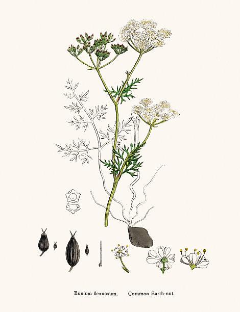 Common Earth Nut Plant Scientific Illustration Wall Art