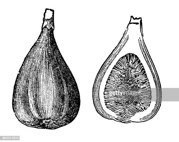 common fig - fig tree stock illustrations
