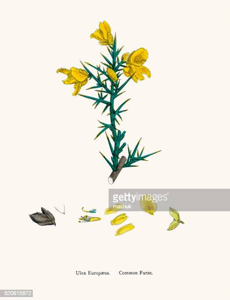 common furze plant 19th century illustration - broom stock illustrations, clip art, cartoons, & icons