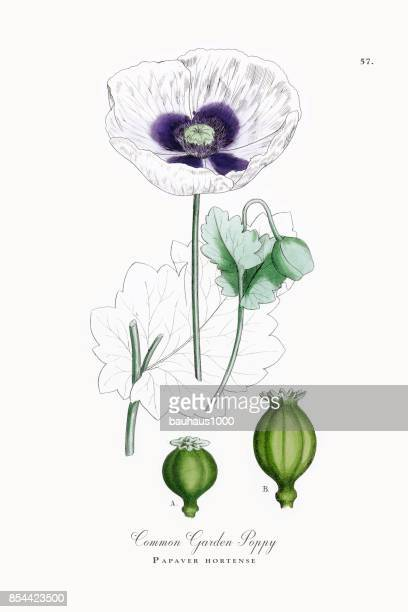 common garden poppy, papaver hortense, victorian botanical illustration, 1863 - oriental poppy stock illustrations, clip art, cartoons, & icons