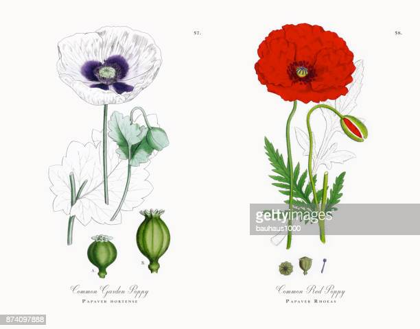 common garden poppy, papaver hortense, victorian botanical illustration, 1863 - poppy plant stock illustrations, clip art, cartoons, & icons
