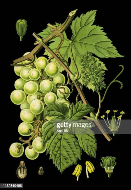 common grape vine - vine stock illustrations