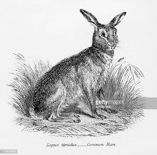 common hare - animals in the wild stock illustrations
