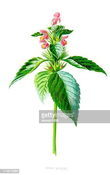 common hemp nettle - galeopsis tetrahit - hemp stock illustrations, clip art, cartoons, & icons