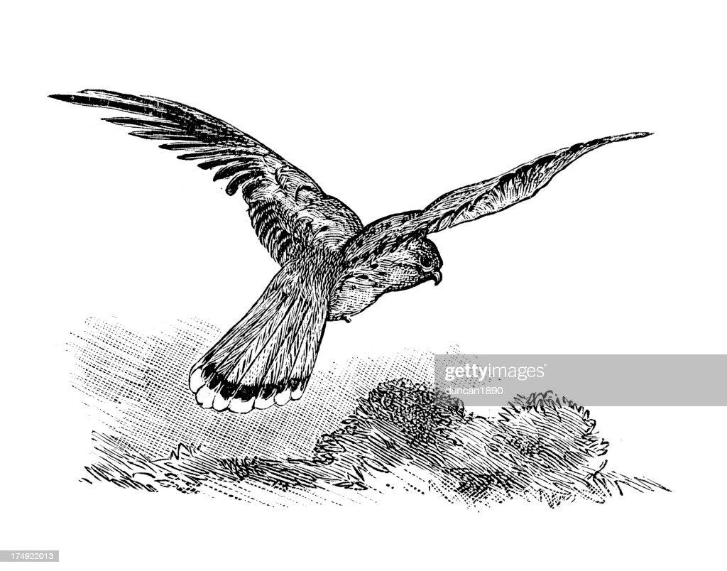 Common Kestrel - Falco tinnunculus : stock illustration