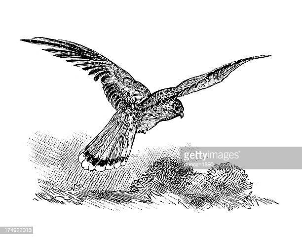common kestrel - falco tinnunculus - falcon bird stock illustrations, clip art, cartoons, & icons