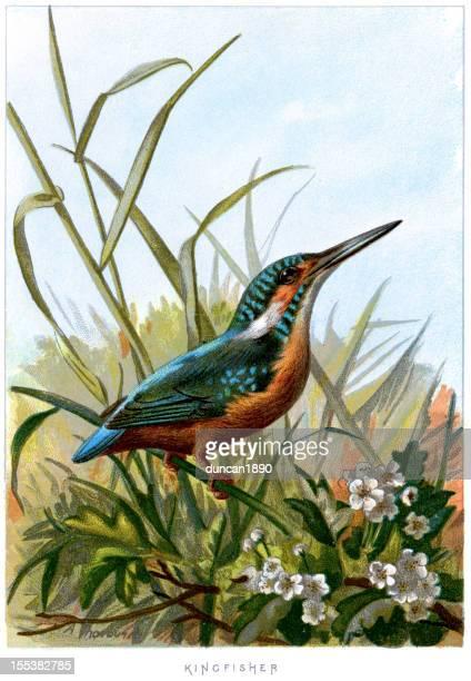 ilustrações, clipart, desenhos animados e ícones de kingfisher-alcedo atthis comum - zoologia