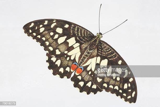 Common Lime butterfly (Papilio demoleus), black with light yellow speckles and red markings on hind wings.
