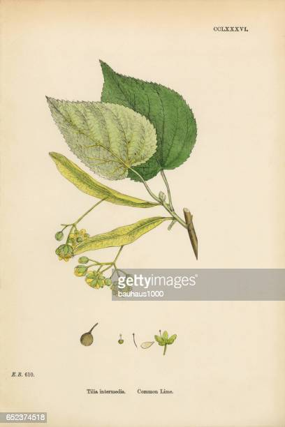 Common Lime, Tilia Intermedia, Victorian Botanical Illustration, 1863