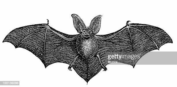 Common long-eared bat (Plecotus Auritus)