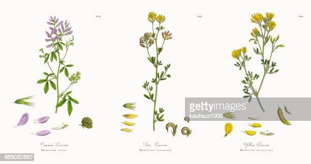ilustraciones, imágenes clip art, dibujos animados e iconos de stock de común alfalfa, medicago sativa, victoriano ilustración botánica, 1863 - flor silvestre