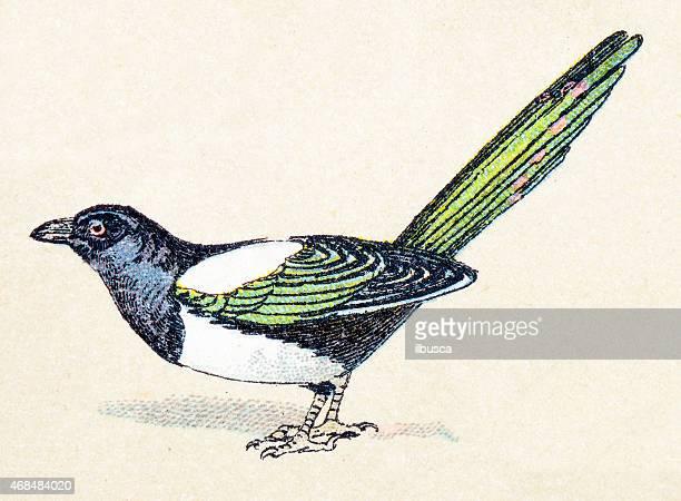 common magpie, birds animals antique ilustration - magpie stock illustrations