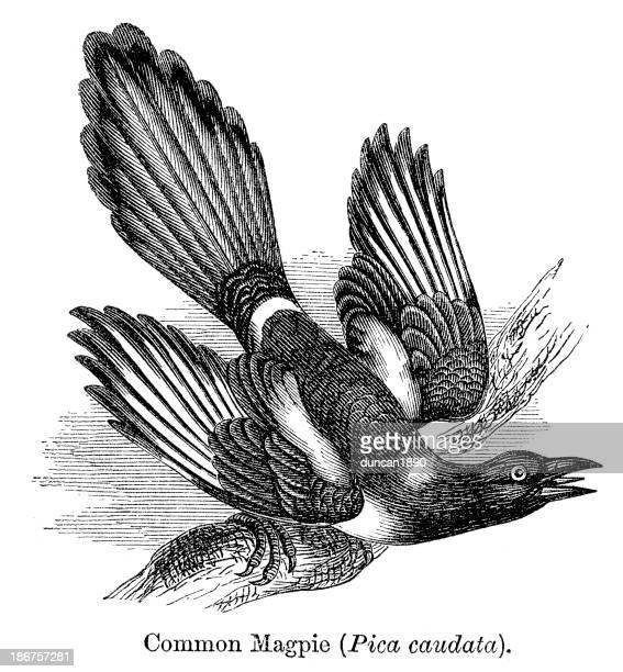 common magpie - magpie stock illustrations
