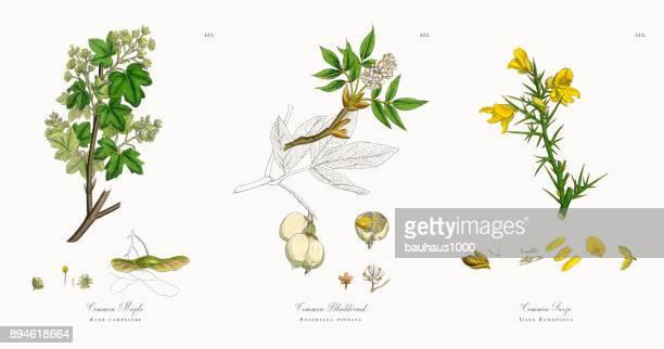 common maple, acer campestre, victorian botanical illustration, 1863 - plant bulb stock illustrations