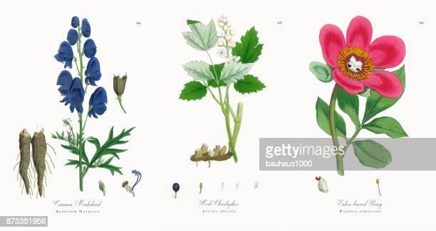 common monkshood, aconitum napellus, victorian botanical illustration, 1863 - plant bulb stock illustrations