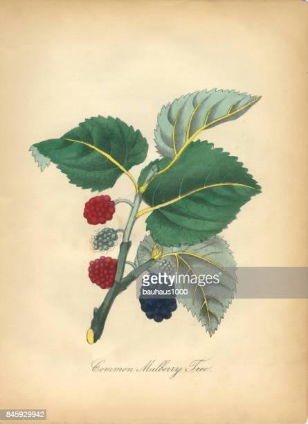 Mûrier commun arbre victorienne Illustration botanique