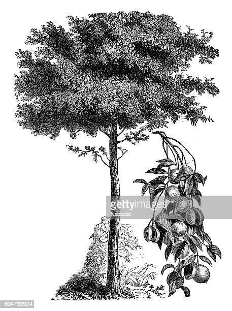 ilustraciones, imágenes clip art, dibujos animados e iconos de stock de common nutmeg (myristica fragrans) - monoimpresión