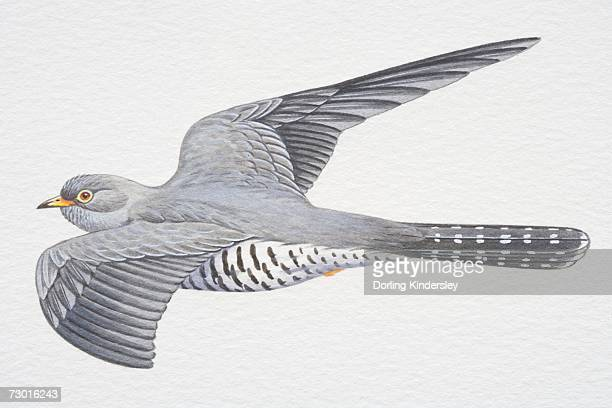 Common or Eurasian Cuckoo (Cuculus canorus), grey wings spread in flight.