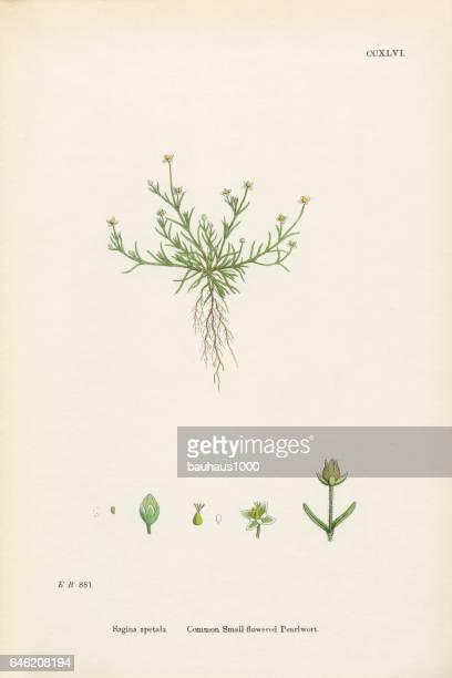 一般的な Pearlwort、ツメクサ Apetala、ビクトリア朝の植物図、1863