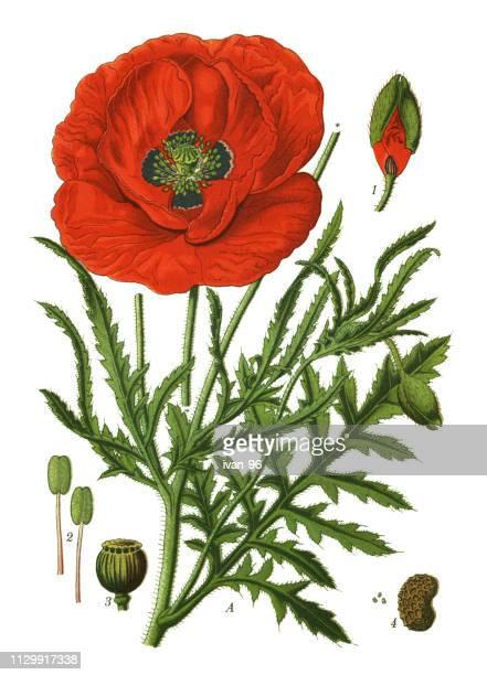 common poppy, corn poppy, corn rose, field poppy, flanders poppy,  red poppy - poppy stock illustrations