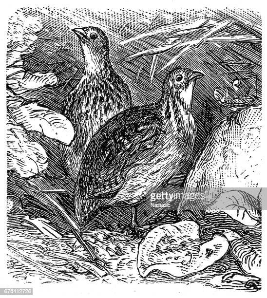 common quail (coturnix coturnix) - quail bird stock illustrations, clip art, cartoons, & icons