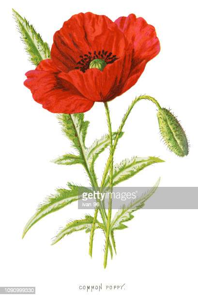 common red poppy - poppy stock illustrations