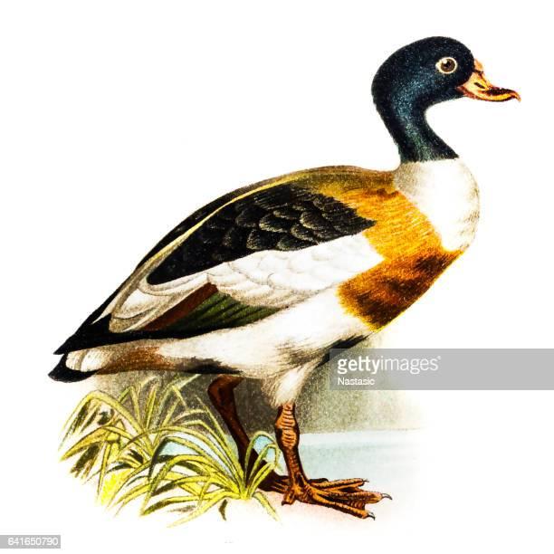 common shelduck (tadorna vulpanser) - duck bird stock illustrations, clip art, cartoons, & icons