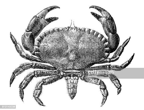illustrations, cliparts, dessins animés et icônes de crabe commun (carcinus maenas) - crabe
