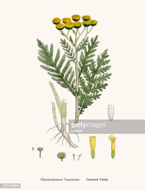 common tansy plant 19th century illustration - tansy stock illustrations