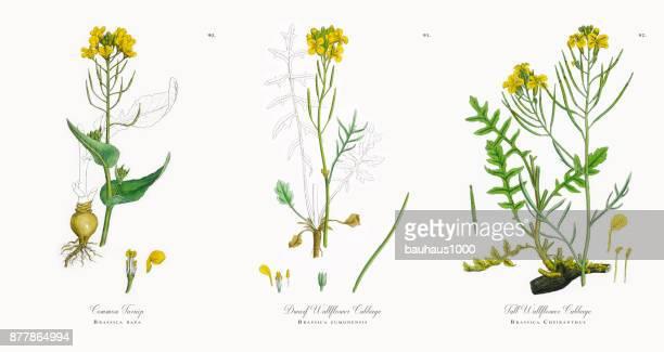 common turnip, brassica rapa, victorian botanical illustration, 1863 - crucifers stock illustrations