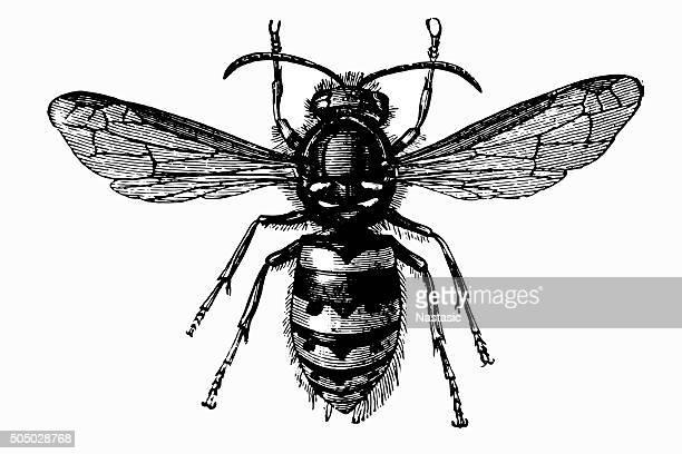illustrations, cliparts, dessins animés et icônes de guêpe commune (vespula vulgaris - ruche