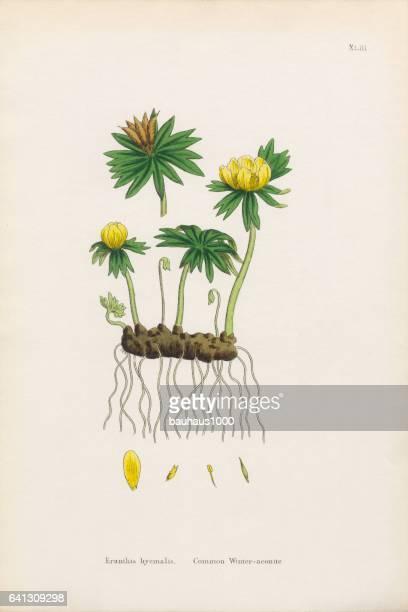 common winter aconite, eranthus hyemalis, victorian botanical illustration, 1863 - buttercup stock illustrations, clip art, cartoons, & icons
