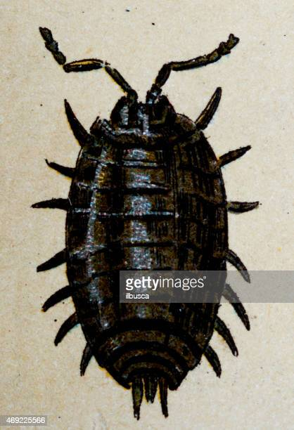 Common woodlouse (Oniscus asellus), insect animals antique illustration