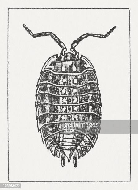 Common woodlouse (Oniscus asellus), wood engraving, published in 1865