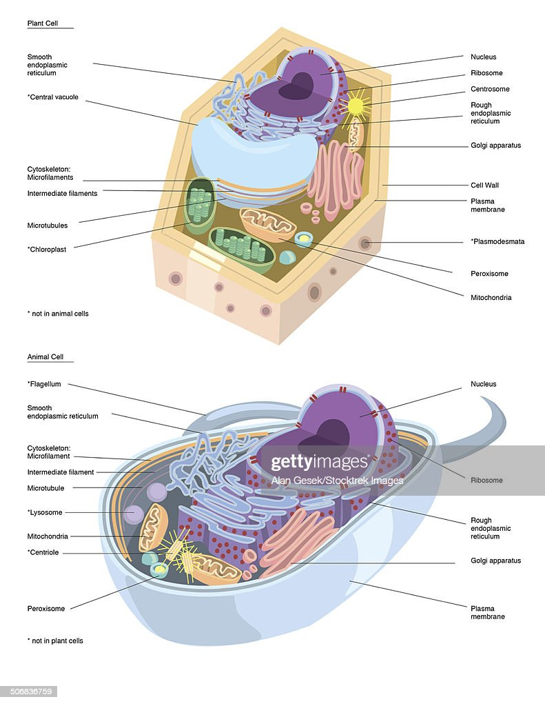 Comparative Illustration Of Plant And Animal Cell Anatomy Stock
