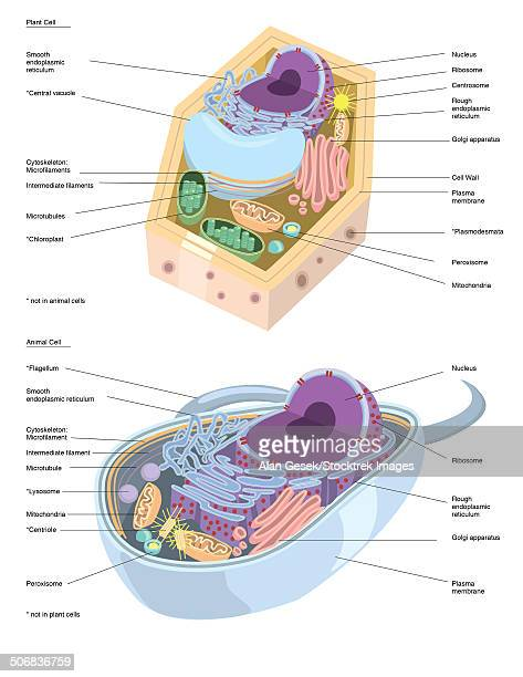 comparative illustration of plant and animal cell anatomy (with labels). - nucleus stock illustrations, clip art, cartoons, & icons