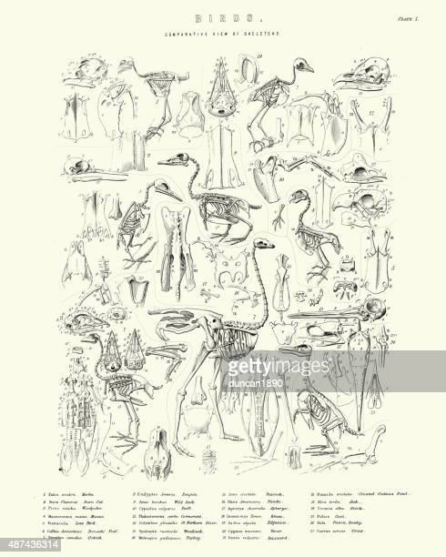 comparative view of birds skeletons - ostrich stock illustrations, clip art, cartoons, & icons